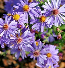 Aster laevis Caliope (Easter Daisy) in 50mm forestry tube perennial plant