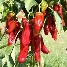 Giapponese rote Chili italienischer Peperoni Gemüsepaprika mittelscharfe Chilli