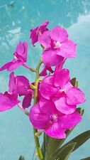 Orchid Vanda Pat's Delight near spike Exotic Tropical Plants