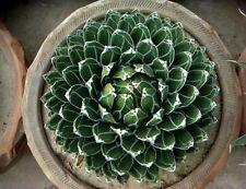 Agave victoriae reginae, Queen Victoria Agave, 20 rare seeds, spectacular form