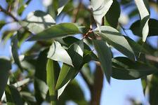 Huile Essentielle EUCALYPTUS Citronne 10ml eucalyptus citriodora