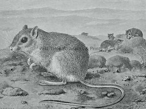 c1894 Antique Mouse Print THE EGYPTIAN GERBIL Royal Natural History Lydekker