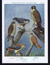 HAWKS: Eastern Pigeon, Duck & Eastern Sparrow - 1932 Fuertes New England Birds