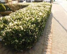 Prunus lauro. 50 Stück Otto Luyken Kirschlorbeer Hecken 15/25 T9x9