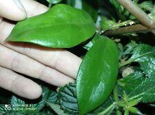 Hoya MINDORENSIS cutting