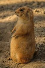 Prairie Dog Animal Journal : 150 Page Lined Notebook/Diary by  00006000 C. S. Creations.