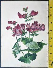 Beardtongue,Pentstemon argutus,Paxton,Magazine of Botany,1839