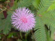 Sensitive Plant Seeds - Mimosa Pudica - 150+ seeds!