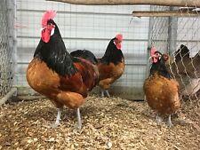* Rare Breeds Hatching Eggs (10) Npip Pt/Ai
