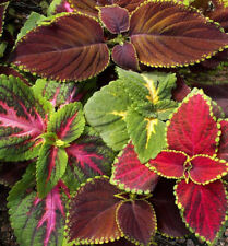 1000 Rainbow Mix Coleus Flower Seeds + Gift - Comb S/H