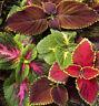 500 COLEUS RAINBOW MIX Flower Seeds
