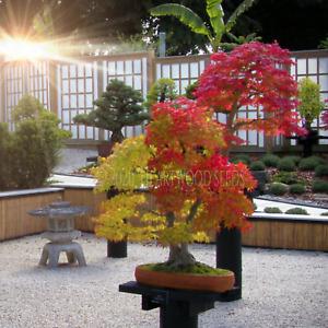 Acer palmatum (Japanese Maple Small Leaf) 20 Tree Seeds RARE Outdoor Bonsai UK