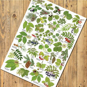 A3 British Tree Leaves Identification Chart Wildlife Poster Flora Fruits Nature