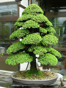 Cryptomeria japonica (Japanese Cedar) 30 Tree Seeds | Outdoor Garden Bonsai | UK