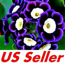 50 PCS Mariandl Stunning Tricolor Petunia Seeds B65 Annual Flower Seed US Seller