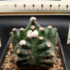 0509 Astrophytum myriostigma /  Astrophytum asterias /