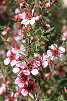 die süßen Blüten der Südseemyrte sind wichtig für den wertvollen Manuka-Honig.