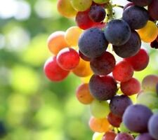 Rainbow Grape ColoUr Vine Fruit Plant Seeds 13+ Seeds Uk Stock BUY 2 GET 1 FREE