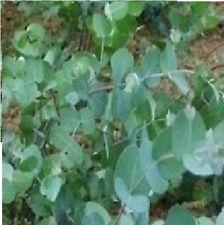 Eucalyptus gunnii - Cider Gum - 25 Seed