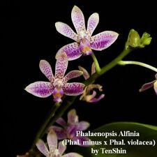 TS1020.63 Phalaenopsis Alfinia Bare Root T700