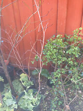 3 yr old Chinese dates jujube fruit tree tasty sweet plant organic 3ft tall