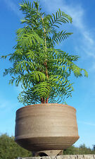 bonsai starter living fossil tree Metasequoia Dawn Redwood, ceramic bonsai pot