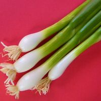 ONION - WHITE LISBON (HARDY) - 800 Seeds [..bunching variety for overwintering]