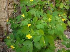 Celandine (Chelidonium majus) 150 seeds