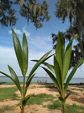 Coconut Palm Tree 3' (TWO PACK) (Lic. to ship to ALL cont. USA states exc TX)