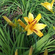 Hemerocallis-BONANZA-les-Cottage jardin, plantes vivaces