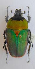 Beetle, Cetonidae, Stephanocrates bennigseni female ex Katanga, Zaire, n211b