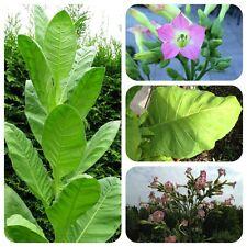 Virginia Gold alte Sorte Tabak Rauchtabak Nicotiana tabacum kräftiges Aroma