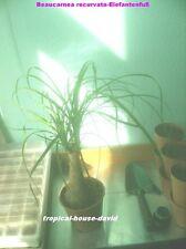 Elefantenfuß, Flaschenbaum / Beaucarnea recurvata 25 Samen