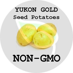 YUKON GOLD Certified Seed Potatoes - Non-GMO Garden Heirloom Tuber Spud Sweet