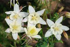 30+  AQUILEGIA STAR WHITE, COLUMBINE /  PERENNIAL / DEER RESISTANT FLOWER SEEDS