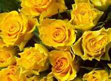 Beautiful Yellow Rose Bush! 10 Seeds! Comb. S/H! SEE OUR STORE FOR OTHER ROSES!