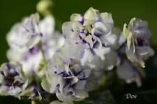 African Violet Chimera 'Blue Confetti' - Plant In Bud (True Chimera)