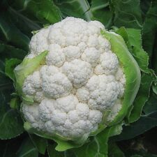 Vegetable Cauliflower Igloo 1000 seeds