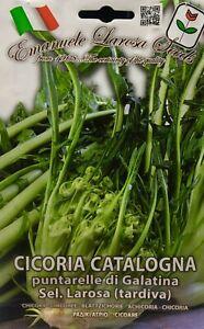 400 Semi / Seeds CICORIA Catalogna Puntarelle di Galatina Tardiva