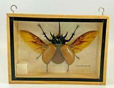 Huge Five Horned Rhinoceros Beetle (E. gracilicornis M.) Box Frame Display-(ROM)
