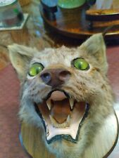 taxidermy mounts for sale Canadian Lynx head