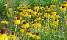 coneflower, PRAIRIE, LIKES IT DRY, yellow flower, 100 seeds! GroCo*