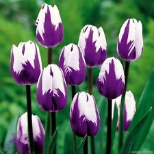 Beautiful Purple White Tulip Flower Bulbs - 4 bulbs