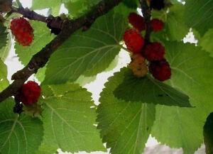 Schwarze Maulbeere (Morus nigra) 100 Samen, Schwarzer Maulbeerbaum