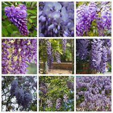 5x Wistera Seeds Flowers Plants Perennials Garden Live Decor Fresh Nature Beauty