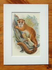 Mouse Lemur - Mounted Antique Animal Monkey Primate Print Victorian Lithograph