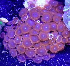 Zoanthid Coral & Live Rock