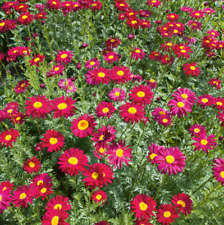 Pyrethrum - Robinsons Red - 150 Seeds