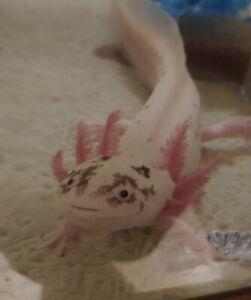 Axolotl Eggs Fully Aquatic Salamander 10x