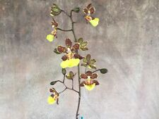 Trichocentrum kuquat species orchid plant. Unique foliage! Fragrant! Rare!